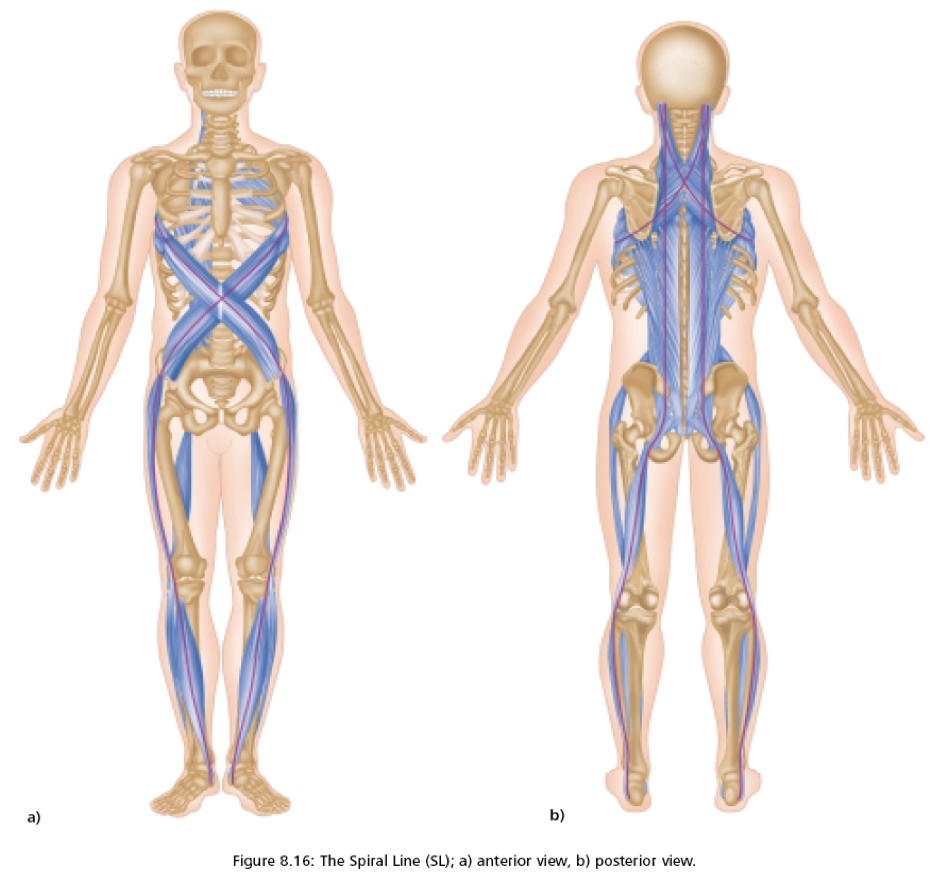 Fascia, Bones, and Muscles – BeingHuman